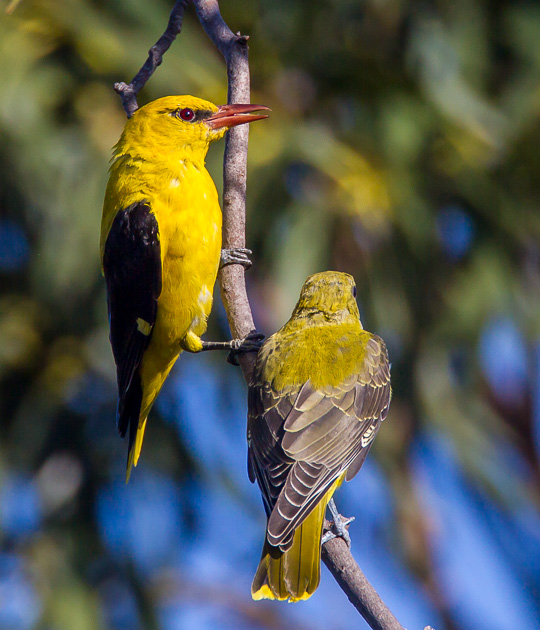 Golden Orioles for PiP 2165